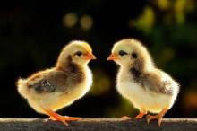 基因改造小鸡有望抑制禽流感