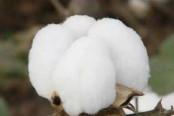 棉花概念股