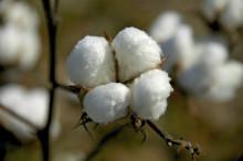 简析近期棉花疯涨背后的逻辑